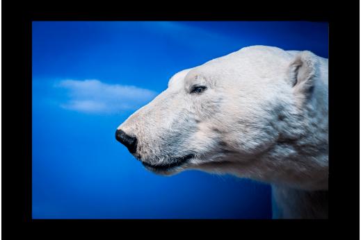 Картина Белый медведь